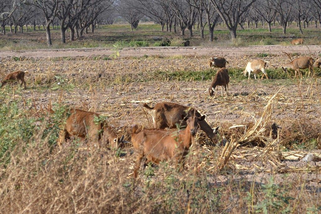 Durango: Sequía no es leve, es aguda: productores (El Siglo de Torreón)