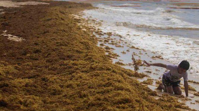 Quintana Roo: Sargazo no es contaminante: Semar (Excelsior