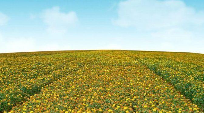 Sonora: Alerta a productores poca agua en la presa… sembrarían cártamo y no trigo (La verdad)