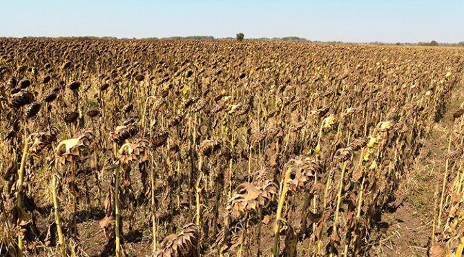 A pesar de las lluvias en Michoacán, la mayoría de cultivos locales sufren por sequías (La Voz de Michoacán)