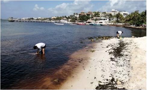 CDMX: Descartan concentración anormal de contaminantes en sargazo (El Universal)