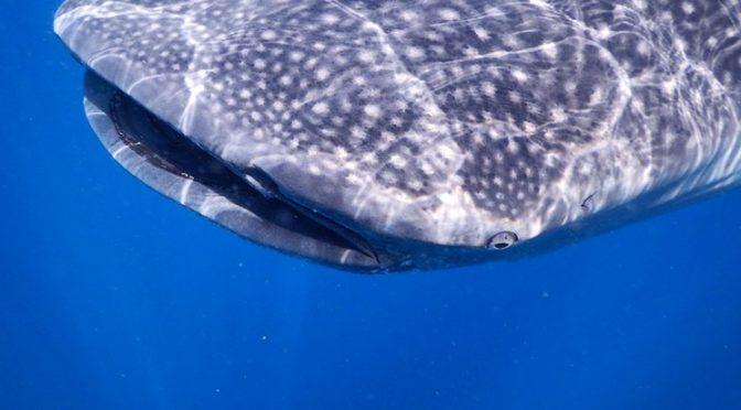 Baja California Sur: Se reduce cifra de tiburones ballena heridos por embarcaciones: WWF (La Jornada)