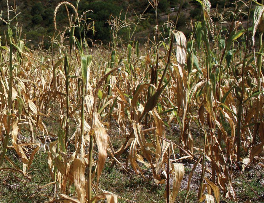 Tlaxcala: Ausencia de lluvia disminuiría cosechas de maíz (Milenio)