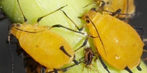 Coahuila: Prolifera pulgón amarillo por sequía (El Siglo de Torreón)
