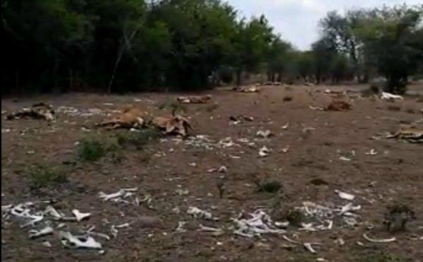 Sequías en Veracruz están devastando al ganado (El Heraldo de México)