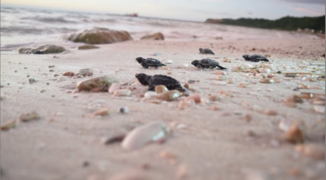 Quintana Roo: La tortuga y la hipercontaminación del mar (La Jornada Maya)