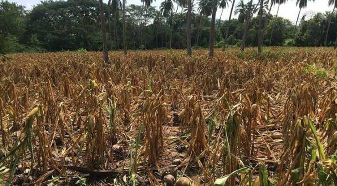 Guerrero: Disminuirá la producción de maíz 60% por la sequía: dirigente (La jornada de Guerrero)