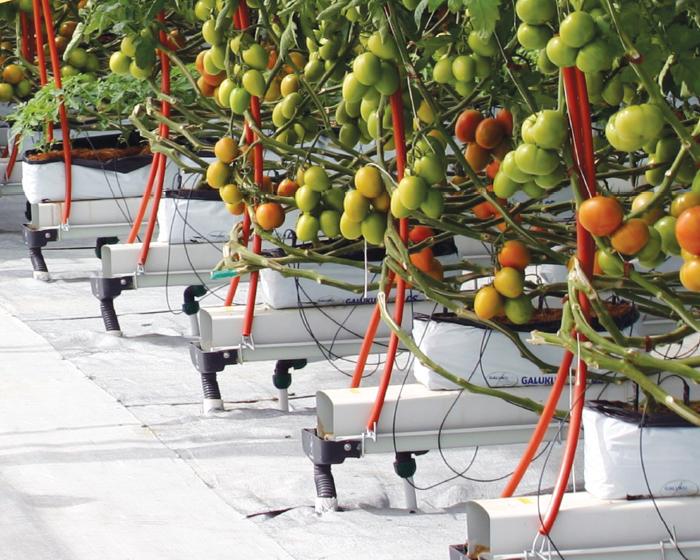 Calidad poscosecha en frutos de tomate hidropónico producidos con agua residual y de pozo
