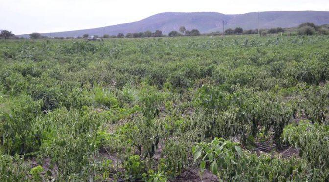 Querétaro: Temen crisis alimentaria por sequía (El Sol de San Juan del Río)
