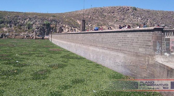 San Luis Potosí: Lirio acuático contamina agua de La Presa (Plano Informativo)
