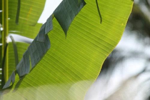 Ecuador: Los plátanos podrían purificar el agua en la amazonia (Somos Mass 99)