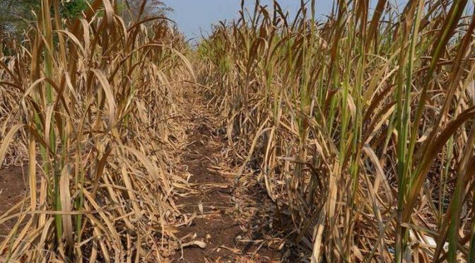 Veracruz: Reduce sequía un 30% la producción de caña este año (El Sol de Córdoba)