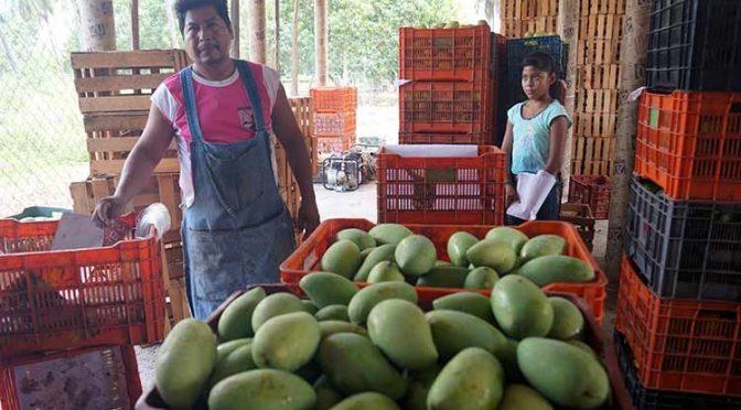 Guerrero: Por la sequía, disminuyó 70% la producción de mango en Tecpan (La jornada de Guerrero)