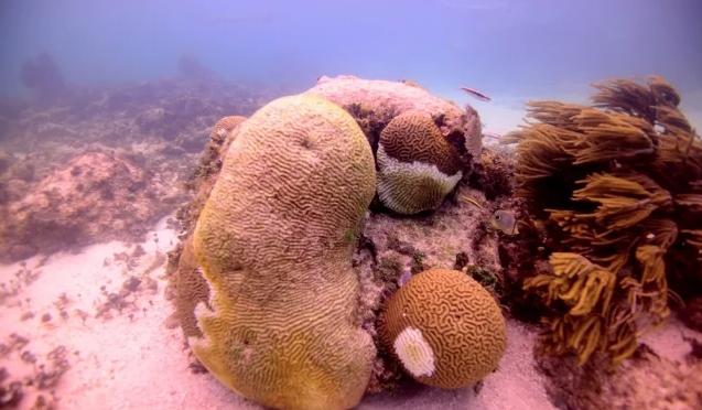 Cancún: Síndrome Blanco se extiende a arrecifes del Caribe Mexicano (El Universal)