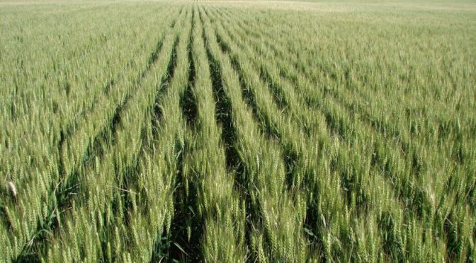 Sonora: Dejarán de sembrarse más de 15 mil hectáreas por falta de agua (La verdad)