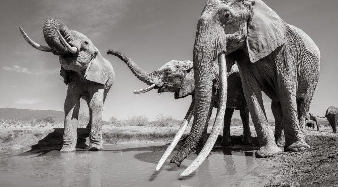 Por la sequía en Zimbabue mueren en un mes más de 55 elefantes (Línea Directa)