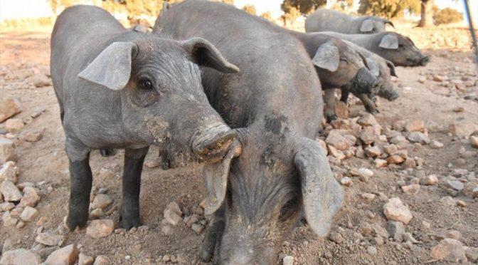 España: Usan pelo de cerdo para descontaminar el agua (Córdoba)