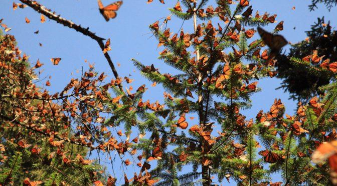 Michoacán con pago de servicios ambientales preservan productores bosque (Alianza Tex)