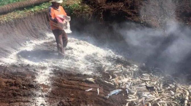 Sinaloa: Mueren miles de peces y jaibas por contaminación (Pulso)