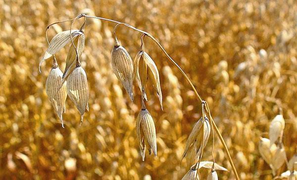 Querétaro: Falta de agua pone en peligro cultivos de avena, trigo y cebada (Inforural)