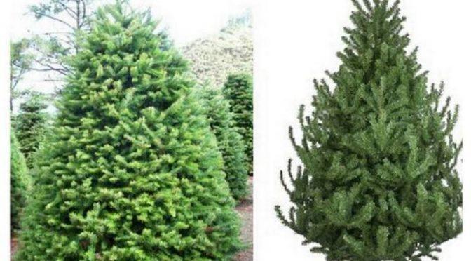 ¿Qué es más ecológico, árbol de navidad natural o artificial? (La Prensa)