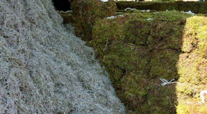 México: Advierten impacto ecológico por la extracción de heno y musgo (Mexiquense)