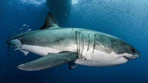 México: ¿Crees que comes bacalao? Nuevo informe revela que los mexicanos están comiendo tiburón (Mongabay)