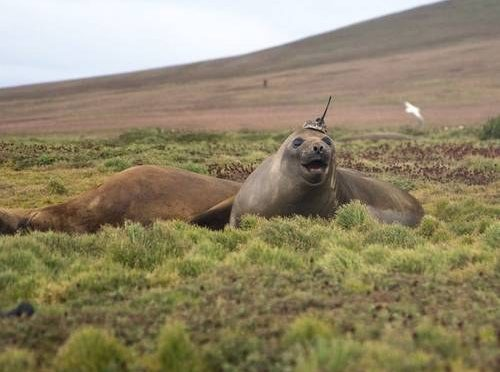 Madrid: Sensor transportado por foca registra cuánto calor puede absorber el océano (La Jornada)