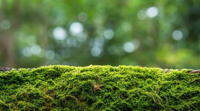 Semarnat pide no comprar musgo para nacimientos por alto impacto ambiental (Milenio)