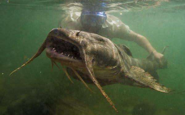 Por qué los gigantes de agua dulce están desapareciendo (The New York Times)