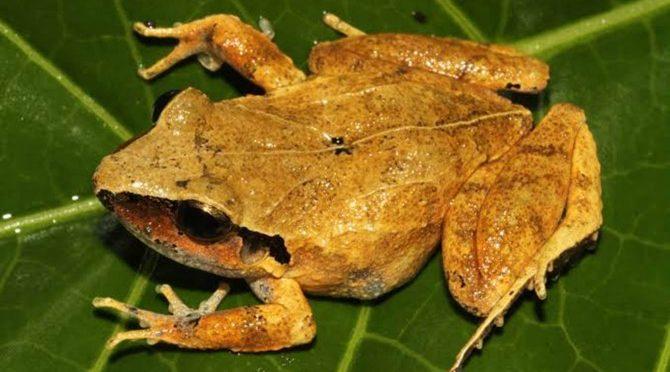 México: Más de la mitad de especies de anfibios en el país está en peligro de extinción (NCYT)