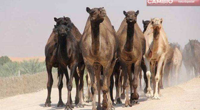 Australia: Por agua, matarán a 10 mil camellos salvajes (Diario Cambio)