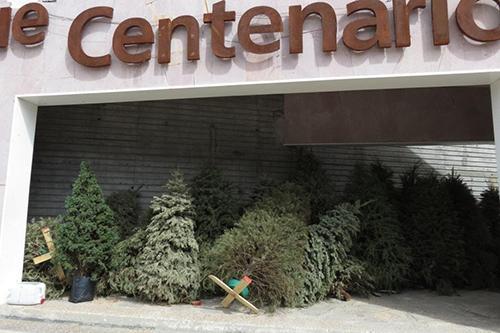 Zacatecas:  Hacen acopio de pinos navideños naturales para generar conciencia (La Jornada Zacatecas)