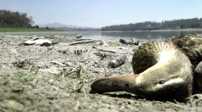 Edomex: 954 patos han muerto en la Presa-Lago de Guadalupe en Izcalli (Levantón Informativo)