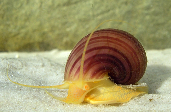Reproducción de Pomacea flagellata (Mollusca: Ampullariidae) en la laguna de Bacalar, Quintana Roo, México