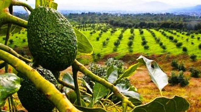 MÉXICO: Advierten que el cultivo de aguacate podría provocar un colapso ecológico (Chilealimentos)