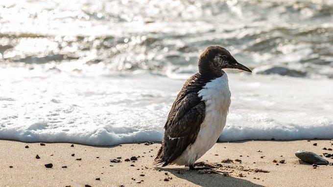 Estados Unidos: en el Pacífico una mancha de agua caliente provocó la muerte de un millón de aves (Plumas Atómicas)
