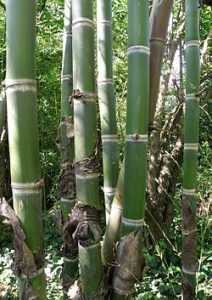 Argentina: El carbón de bambú como gran descontaminante (Prensa Animal)