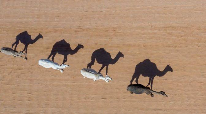 Australia: Sacrifican 5 mil camellos en Australia para que no beban agua (Debate)