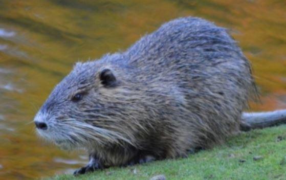 Reino Unido: Castores impactan positivamente la biodiversidad (megalópolis)
