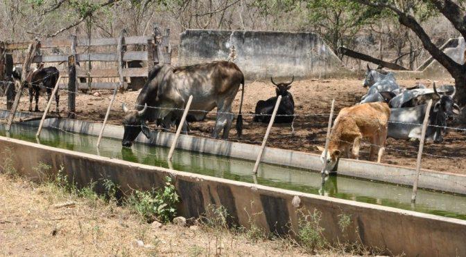 El Rosario: Ganaderos, desesperados por la falta de agua (debate)