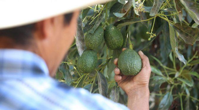 Puebla: Cultivo de aguacate provocaría estrés hídrico, deforestación y coptación del crimen (La Jornada de Oriente)
