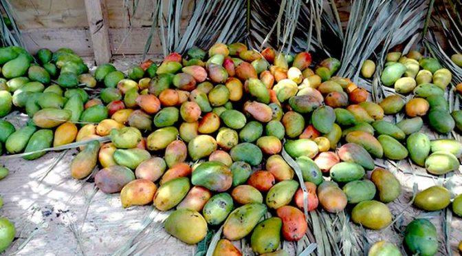 Guerrero: Cambio climático retrasa cosecha de mango en Guerrero: Daniel Radilla (El Sol de Acapulco)