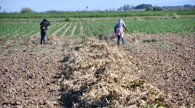 Sinaloa: Lluvia sorprende en febrero, más a los productores de frijol (El Debate)