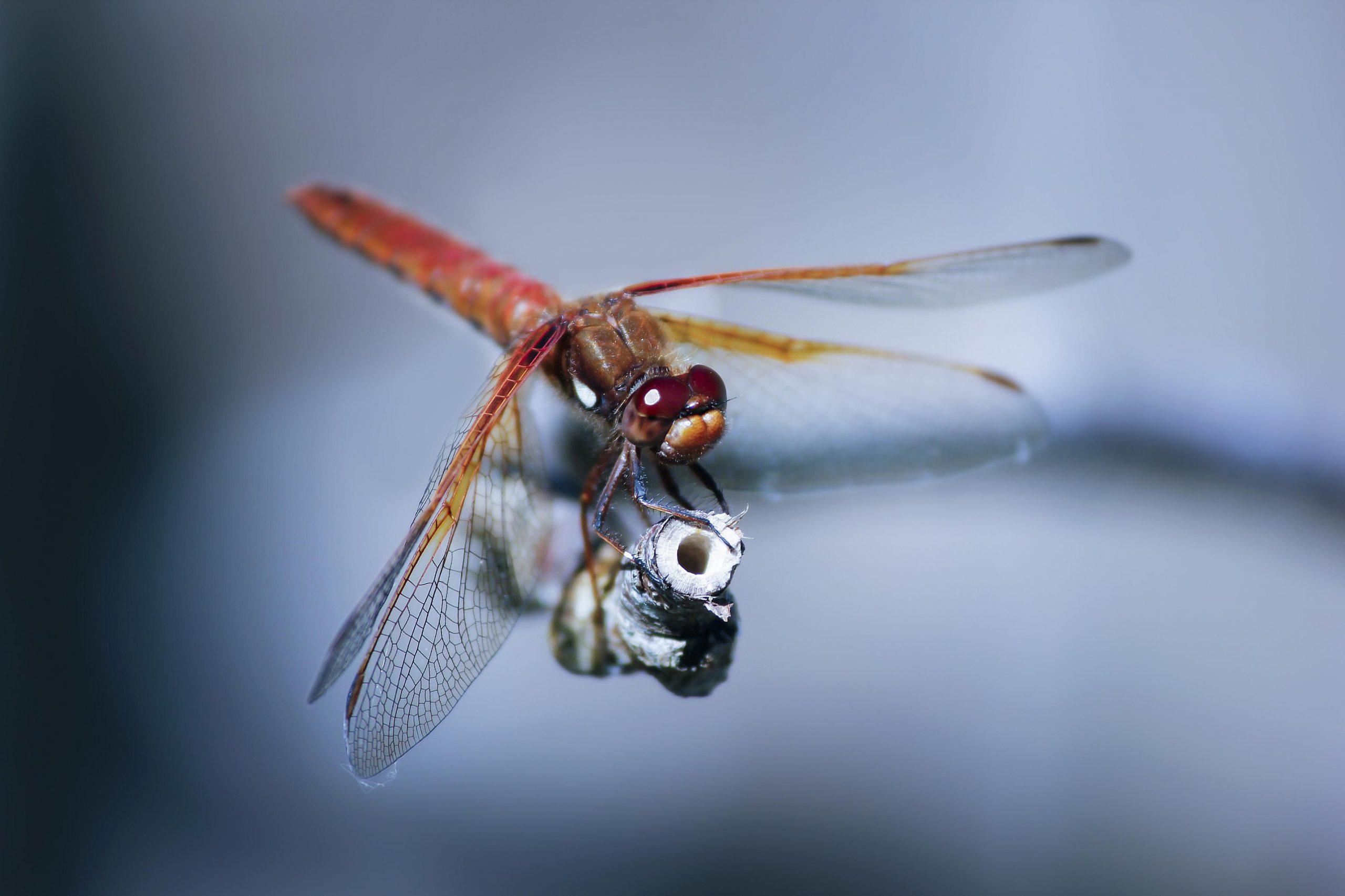 Odonata (Insecta) de tres cuencas en la costa de Chiapas: lista de especies y registro nuevo