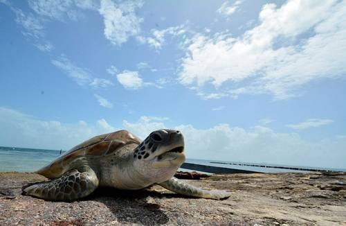 Madrid: Tortugas marinas confunden el olor del plástico con el de la comida (La Jornada)