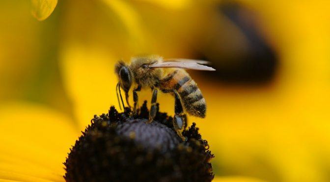 Peligran abejas, vitales en la producción agroalimentaria (La Jornada)