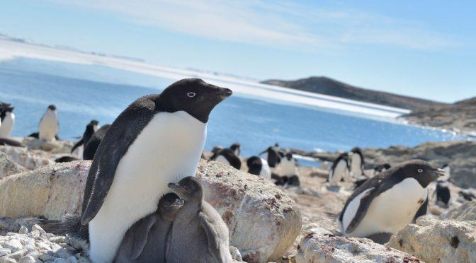 Los cambios en el hielo alteran las colonias de pingüinos más abundantes en la Antártida (El País)