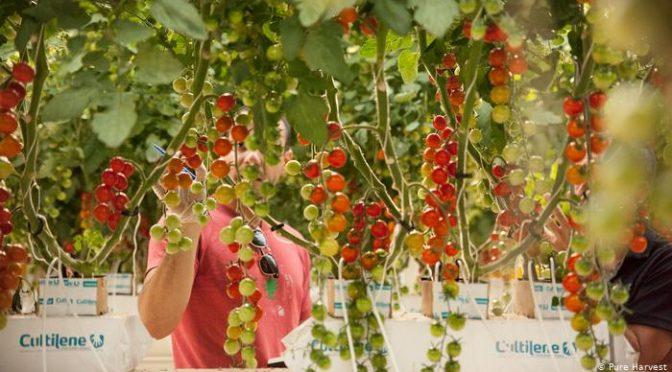 Vegetales en el desierto: ¿agricultura vertical para ahorrar agua? (DW)