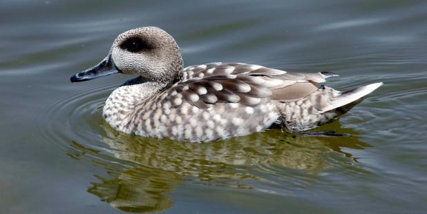 España: Cianobacterias en el agua causan la muerte a cientos de aves en Doñana (EFE Verde)
